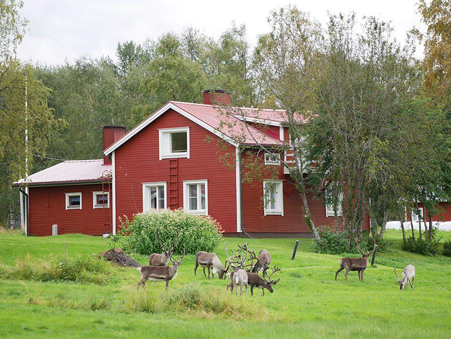 Rentiere Finnland