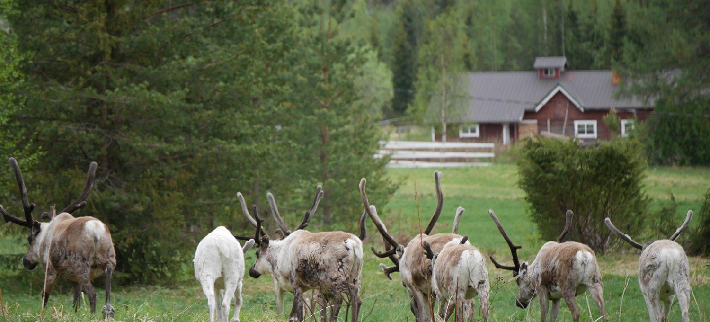 Rentiergruppe in Lappland