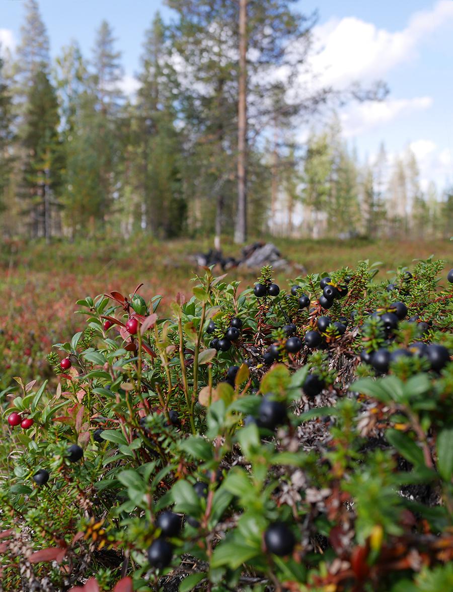 arktische Beeren